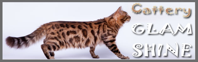 ������� - �������� GLAM SHINE - ����������� ��������������� ����� | Bengal cats